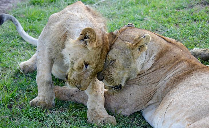 Levy na safari