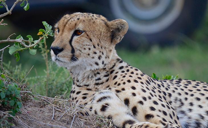 Gepard pri džípe