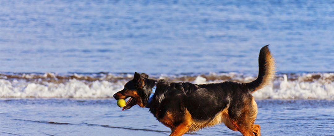Pes-na-plazi